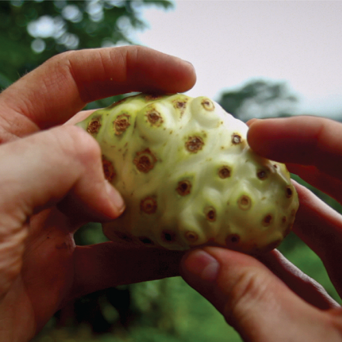 Video: Harvesting the noni fruit from tree to bottle article image